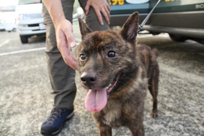 救助犬の甲斐犬