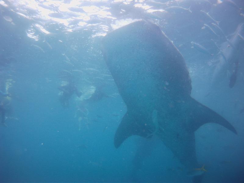 真下からジンベイザメを撮影